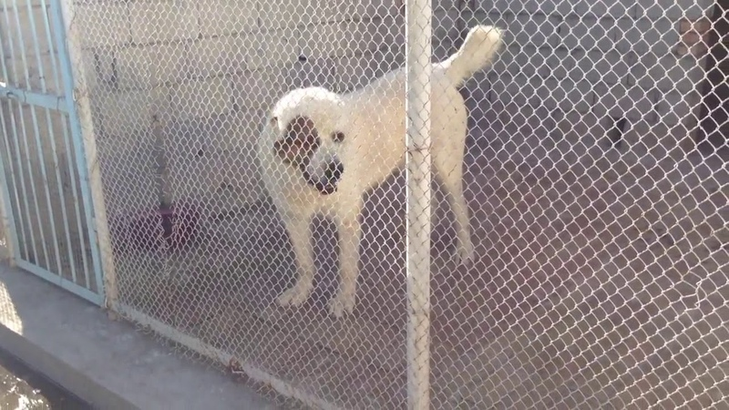 Классные собаки питомник сайёда Таджикистан
