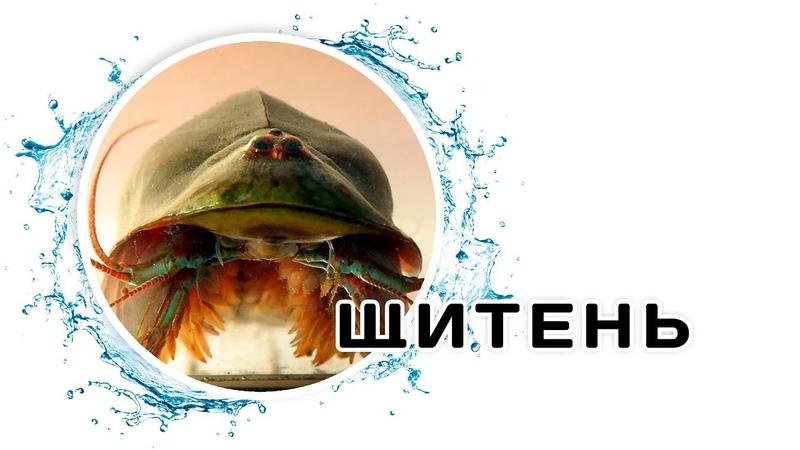 Древний монстр в аквариуме Щитень