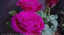 Роза Иоганн Вольфганг фон Гете Чайно гибридная Johann Wolfgang von Goethe Evers Германия 2004