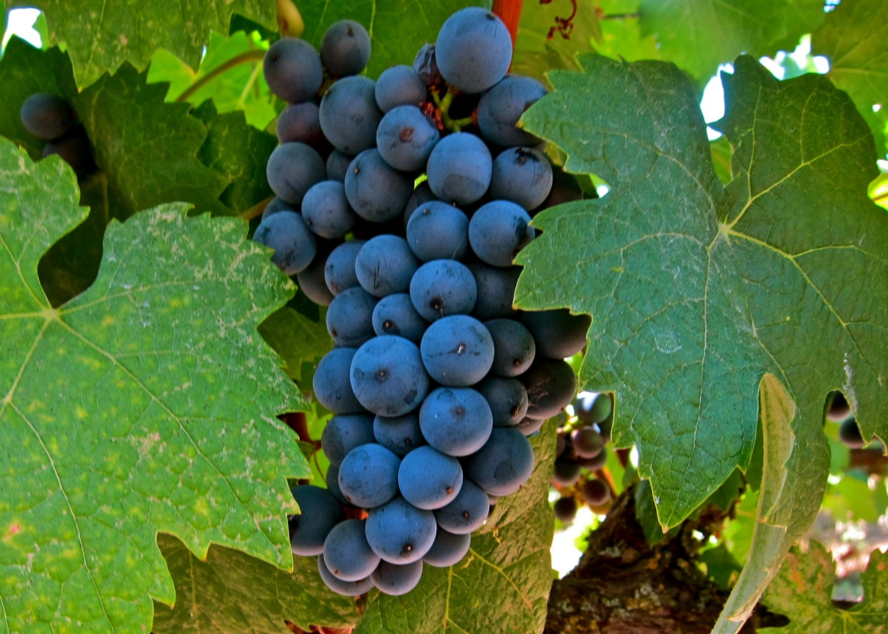 утро фото разновидностей винограда том