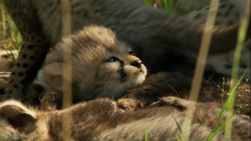 «Рождённые в Африке: Уроки охоты» (Познавательный, природа, животные, 2018)