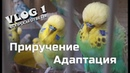 📚 ✉ Адаптация и приручение волнистого попугая Попугай не ест в первые дни!