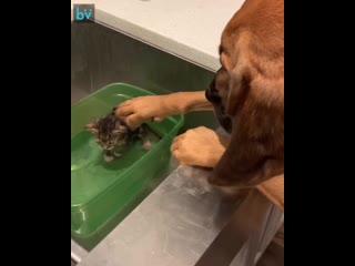 Пес знакомится с котенком