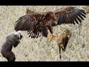 Đại chiến săn mồi Nữ hoàng bầu trời nếu không được ống kính quay lại - Animals Feeding Moutain