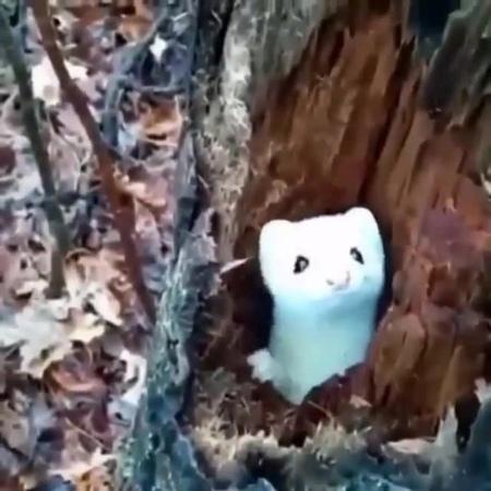 Cute white ermine