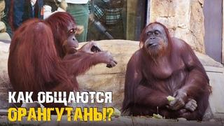 Как общаются орангутаны / Самые умные обезьяны / Почти как люди