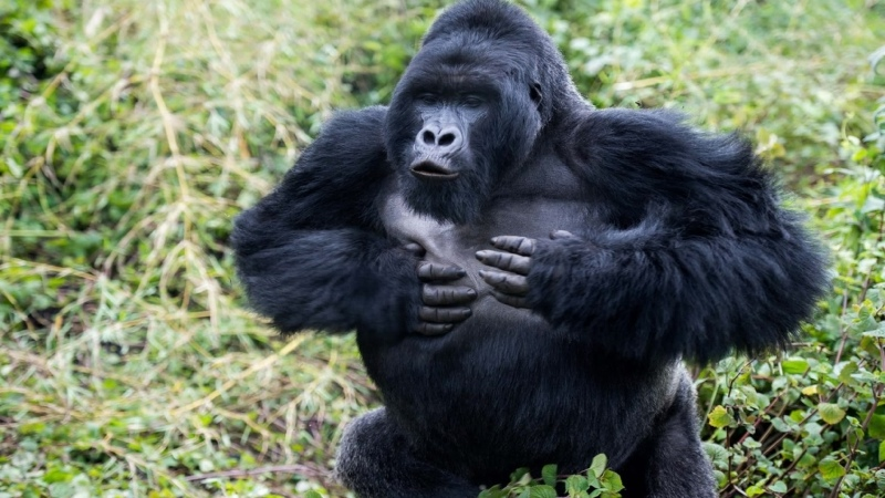 Gorilla On the Trail of King Kong BBC Wildlife Specials Eng Subs