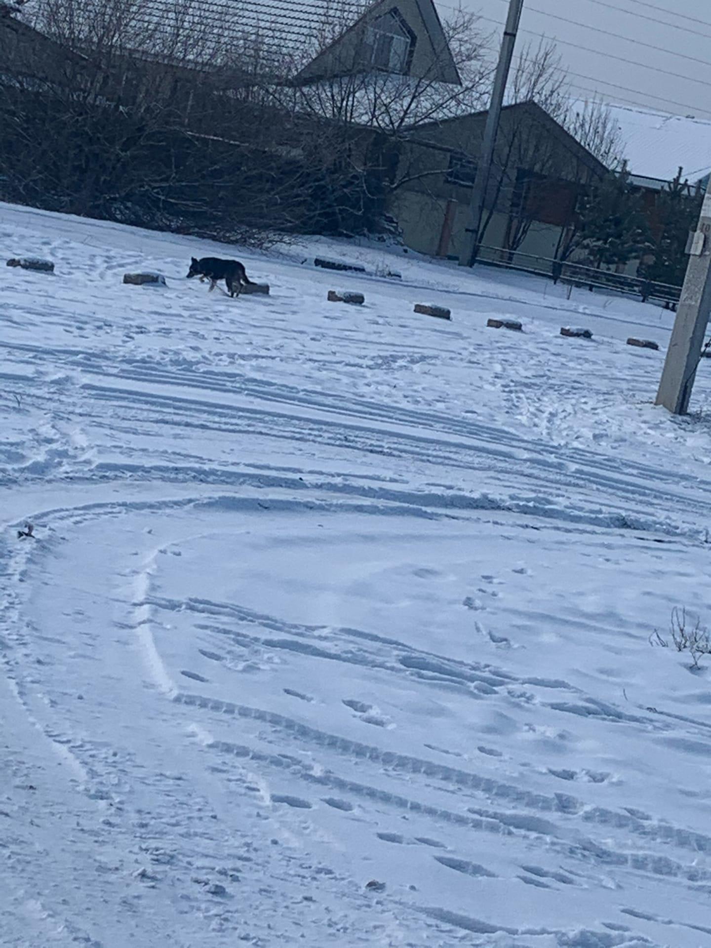 В районе домиков , около адреса Ленина 238 бегает собака с оторванной цепью .
