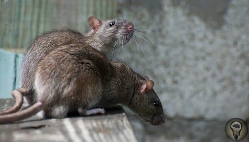 Куда бегут крысы с тонущего корабля Поверье гласит: если крысы бегут со стоящего в порту корабля, ему суждено утонуть в ближайшем плавании. Грызуны якобы замечают мелкие трещины в бортах судна,