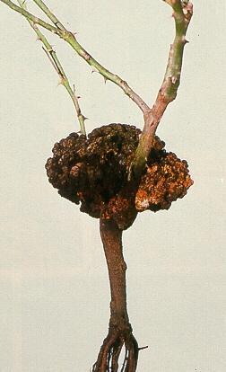 Борьба с инфекционными болезнями роз, изображение №23