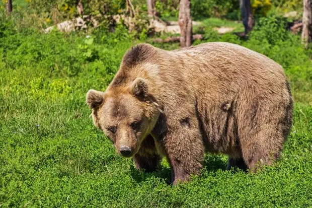 Бурый медведь сбежал от хозяина в Мытищах
