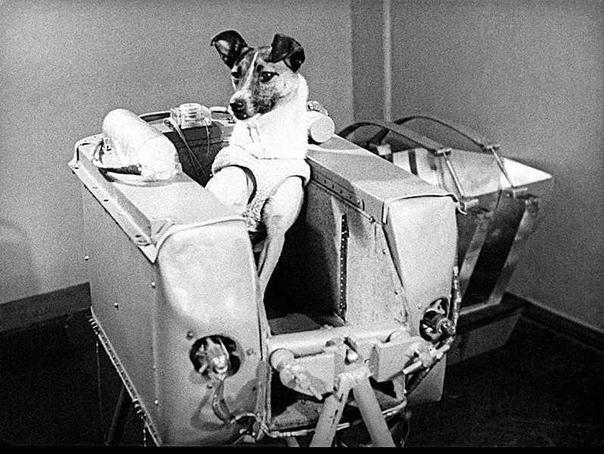 «Самая лохматая, самая одинокая, самая несчастная в мире собака» В честь 40-летия Великой Октябрьской социалистической революции в начале ноября 1957 года в космос был запущен аппарат