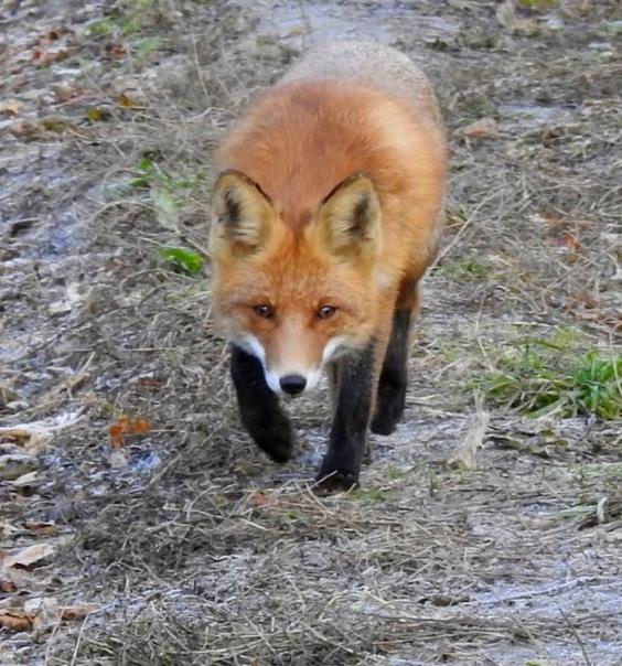 Гуляла утром [id47238416|Татьяна] в лесу, И по дороге встретила лису... #ПриродаКурскогоКрая ... [читать продолжение]