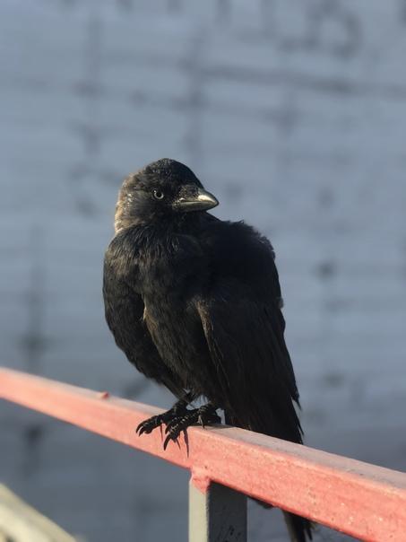 На станции «соцгород» с раненым крылом птичка галчонок , ...
