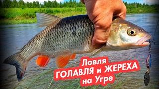 Ловля ГОЛАВЛЯ и ЖЕРЕХА на Угре. Рыбалка на спиннинг.