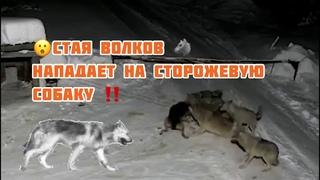 Нападение стаи Волков 🐺 🐺🐺на сторожевую собаку ‼️‼️ Слабонервным не смотреть 😱 2021!