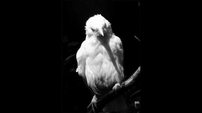 Воропай Белый Ворон