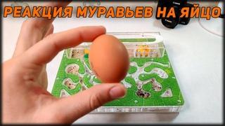 РЕАКЦИЯ МУРАВЬЕВ НА КУРИНОЕ ЯЙЦО!