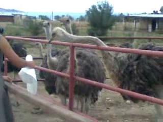 Вредный страус пытается цапнуть за шляпу.