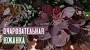 Скумпия в средней полосе 🌺 Переживет ли зиму / Садовый гид