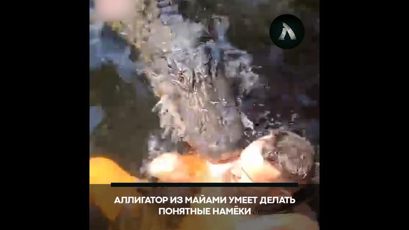 Аллигатор прикусил экстремала в Майами АКУЛА