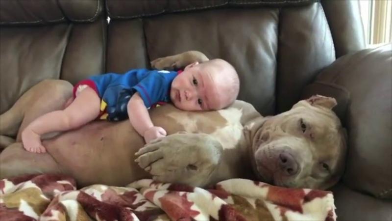 世界一凶暴な犬種ピットブルの見せる可愛らしい表情